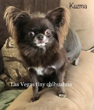 Las Vegas Tiny Chihuahuas
