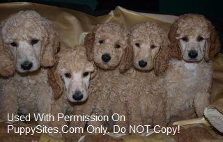 O'Kaylyn Farms Standard Poodles