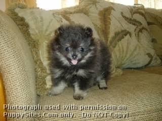 Precious French Bulldogs Poms N Persians