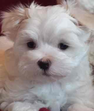 Pure Maltese Pups