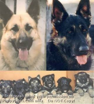 Salhaus German Shepherds