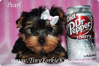 Tiny Yorkie Kisses
