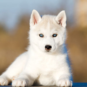 Siberian Husky Puppies For Sale PuppySpot