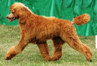 poodle in dog show
