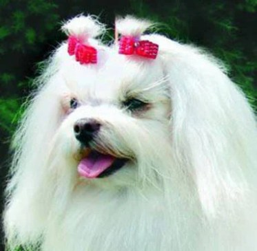 dog with bows in hair