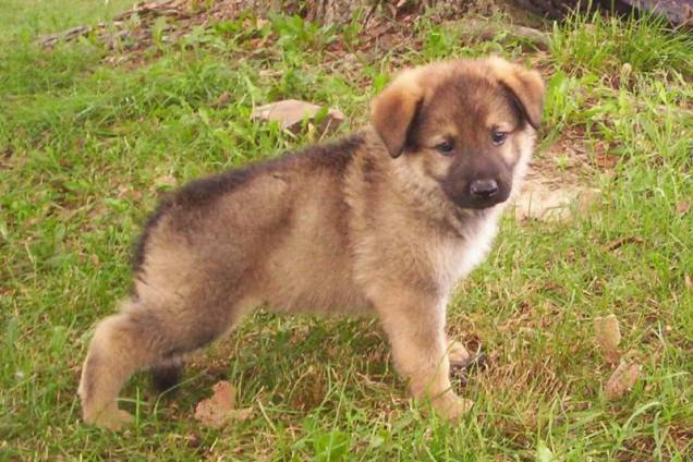 german sheperd cute puppy
