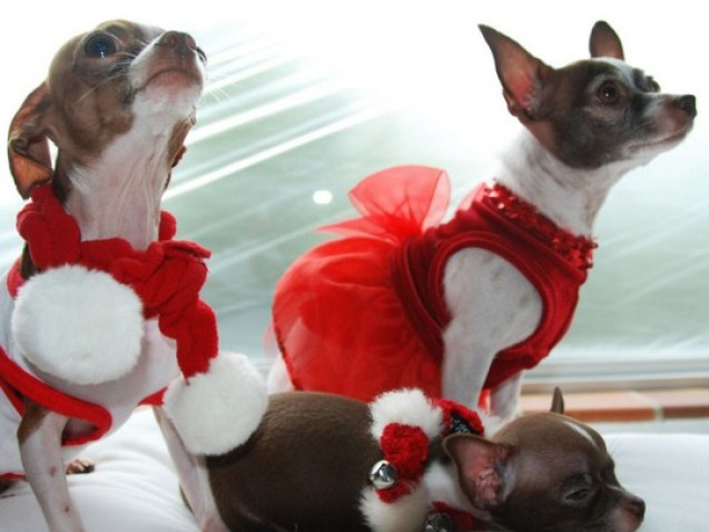 wallpaper-christmas-chihuahua