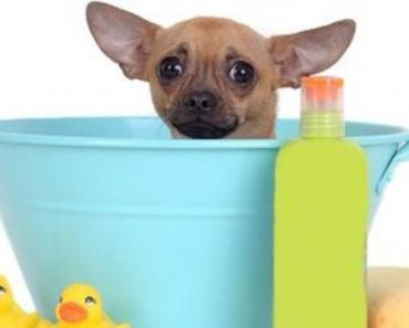 chihuahua in a bath tub