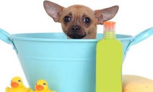 chihuahua in a bath tub