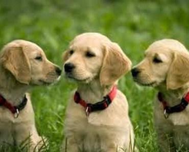 Golden Retriever Dog Breed Information and Photos
