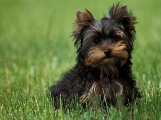Yorkshire_Terrier_14