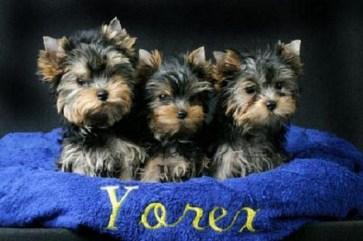 Yorkshire_Terrier_7