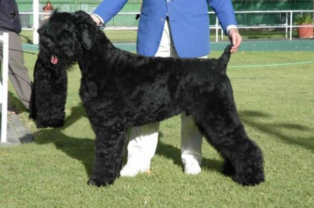 black_russian_terrier