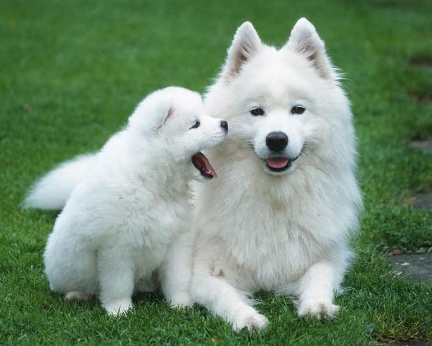 samoyed_dog_1