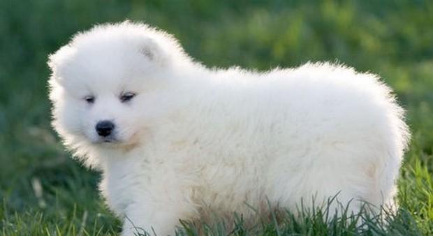 samoyed_dog_8
