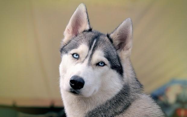 Blue_Eyed_Dogs_1
