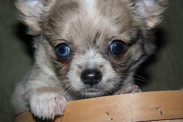 Blue_Eyed_Dogs_3