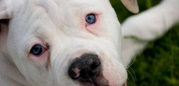 Blue_Eyed_Dogs_6