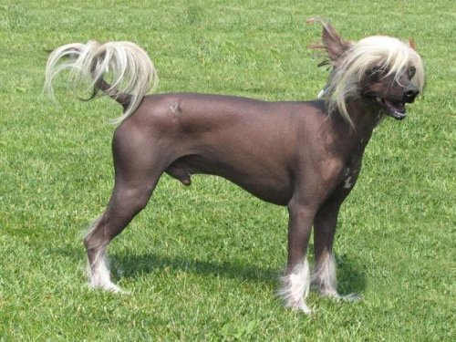 Chinese-Crested-Hairless-4