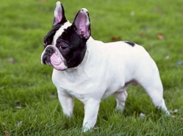 french-bulldog_11