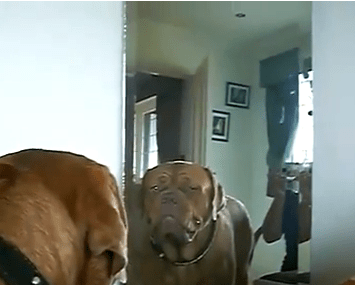 Dog Video of the Day:  Dog Doesn't Like his Mirror Image