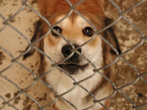 shelter_dog