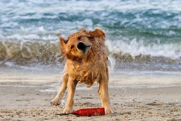 Golden Retriever shaking off excess water after a swim