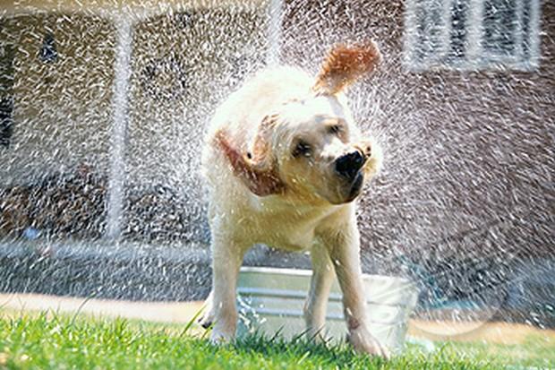Dog Shaking Water off Coat