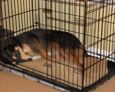 Dog Tip of the Day:  Crates are For Adult Dogs Too