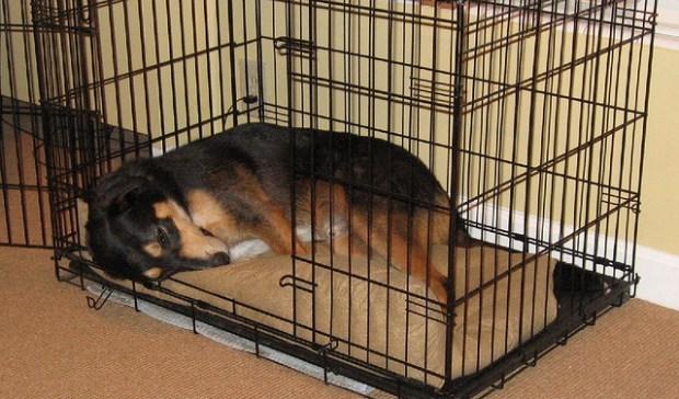 Crate-Training-Blog-Dog-in-Wire-Crate-mara