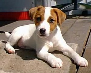 Dog Breed of the Day: Jack Russell Terrier