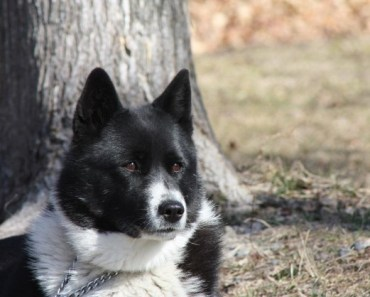 Dog Breed of the Day:  Karelian Bear Dog