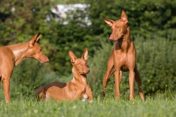 Three dogs in a maedow - Pharaoh Hound
