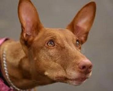Dog Breed of the Day:  Pharaoh Hound