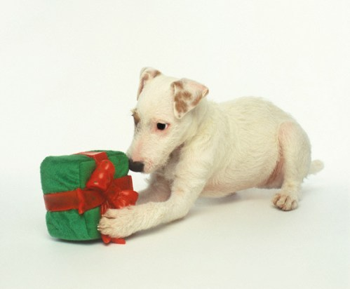 Puppy Playing with Gift-Shaped Dog Toy
