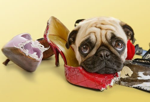 dog_chewing_womans_shoes
