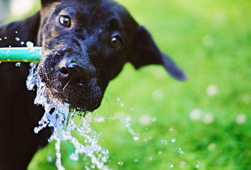 getty_dog_drinking_from_hose111