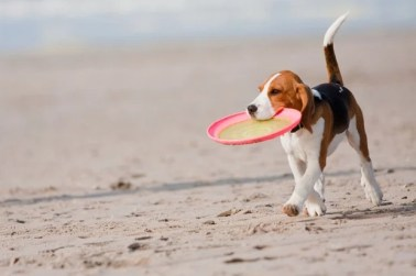 This beach dog loves to play frisbee