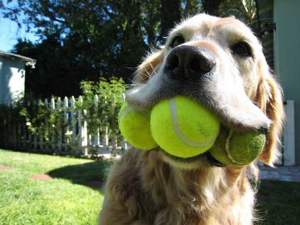 Dog_Tennis_Ball_1