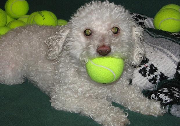Dog_Tennis_Ball_10