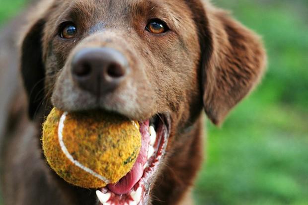 Dog_Tennis_Ball_11
