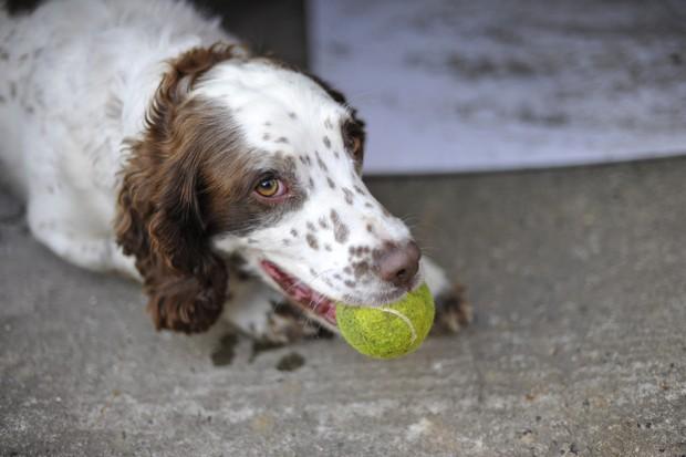 Dog_Tennis_Ball_6