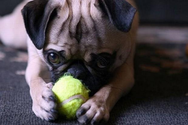 Dog_Tennis_Ball_7