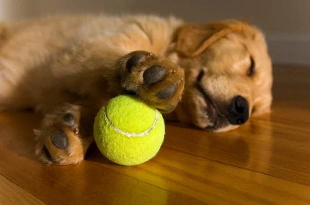 Golden Retriever Puppy dreaming