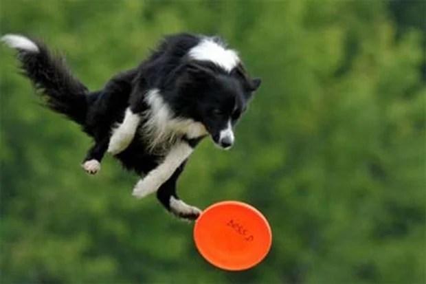 Frisbee_Dog_11