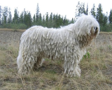 Dog Breed of the Day: Komondor