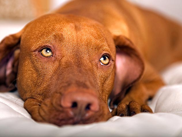 Diabetes in Dogs Symptoms and Treatment