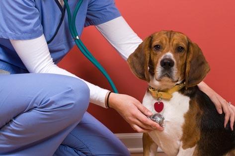 dog-heartworms-stethoscope