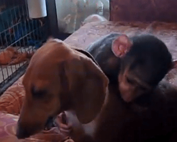 Baboon Makes friends with a Tiger and a Dog
