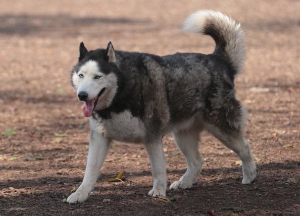 Dogs in Massapeua